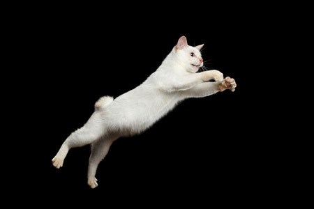 Cat of Breed Mekong Bobtail Attack Jumping in Action, Isolated Black Background, Color-point White Fur, Catching prey Stock Photo
