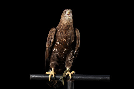 White-tailed eagle Sitting on perch, Birds of prey isolated on Black background