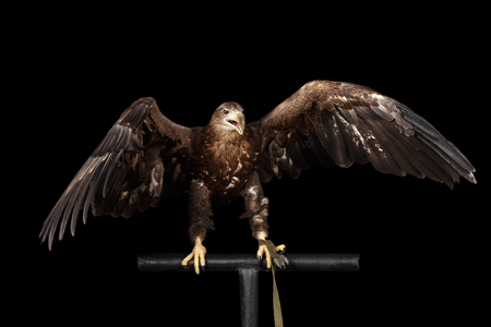 white perch: White-tailed eagle Sitting on perch and Scream, Spread wings, Birds of prey isolated on Black background