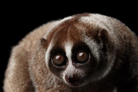 Close-up Gezicht van Leuke Lemur Slow Loris Geïsoleerde Zwarte Achtergrond