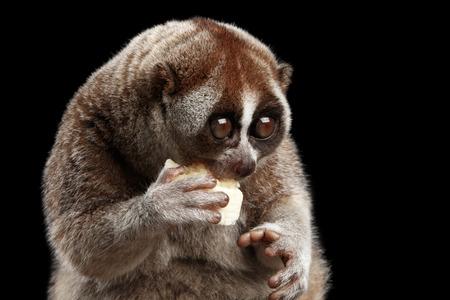 Close-up Gezicht van Leuke Lemur Slow Loris Zitten En Eten Geïsoleerde Zwarte Achtergrond Stockfoto