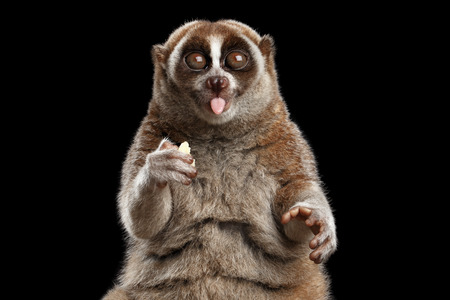 Close-up Face of Funny Animal Lemur Slow Loris Sitting and Showing Tongue Isolated Black background Zdjęcie Seryjne