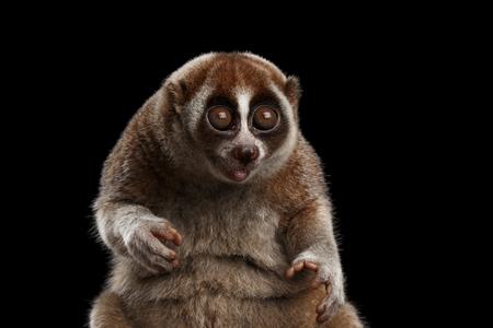 Close-up Gezicht van Grappige Animal Lemur Slow Loris Zitten en staren met geopende mond Geïsoleerde zwarte achtergrond