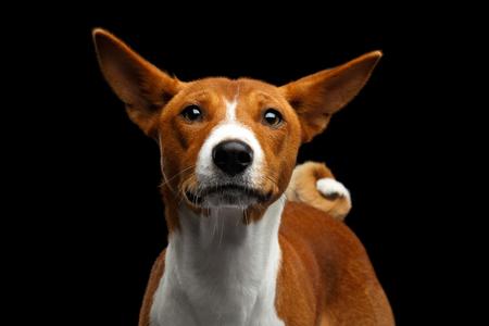 maldestro: Primo piano divertente ritratto bianco con il rosso Basenji cane guarda curioso con orecchie Clumsy su sfondo nero isolato, vista Font