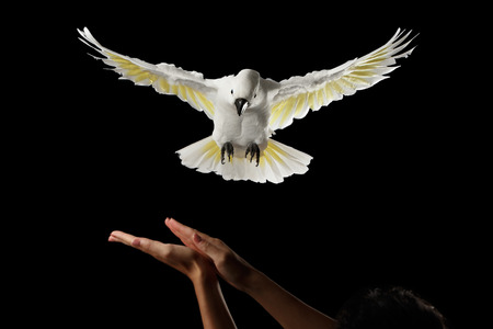 wingspan: Flying Crested Cockatoo White alba to human hand, training, Umbrella, Indonesia, isolated on Black Background, wingspan wings