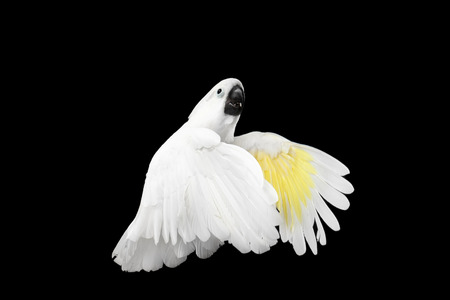 wingspan: Flying Crested Cockatoo White alba, Umbrella, Indonesia, isolated on Black Background, wingspan wings