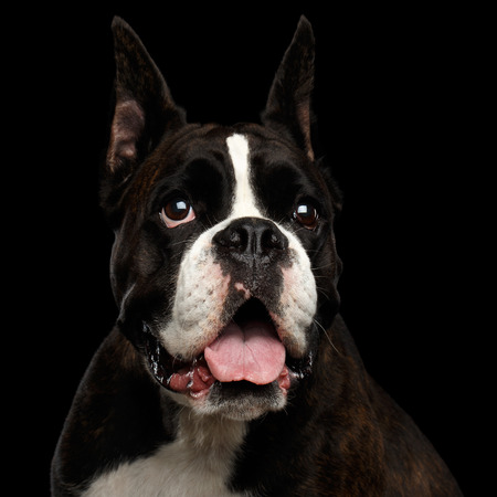 Close-up Portrait of Purebred Boxer Dog Isolated on Black Background