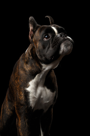 Close-up Ritratto di divertente di razza boxer cane marrone con pelliccia bianca di colore Stare e chiudere la bocca con infastidito isolato su sfondo nero Archivio Fotografico - 65880491