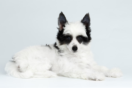 Cute Chinese Crested Puppy with Funny Black Fur Color Like Raccoon, Lying on white background Stock Photo