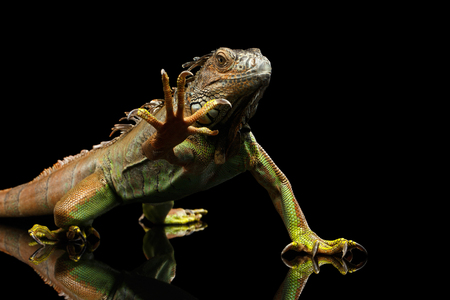 녹색이 구 아나 앉아서 쳐다 보 무서운, 표시 발톱, 검은 배경에 고립 된 발 올리기