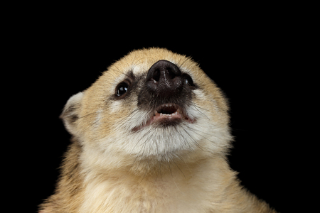 Close-up Funny animal South American coati, Nasua Smiling Isolated on Black Background