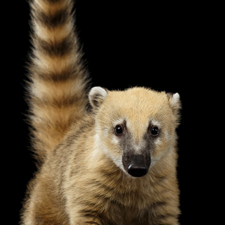 Close-up South American coati, Nasua Looking in Camera Isolated on Black Background