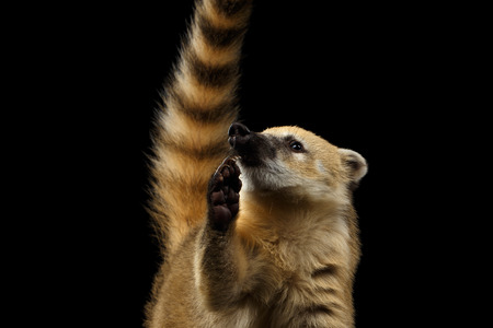 Close-up Portrait of Wild animal South American coati, Nasua Looking up and Raising paw, asking food, with Tail Isolated on Black Background Stock Photo