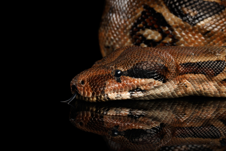 Close-up Head of Snake Boa constrictors with tongue isolated on black background