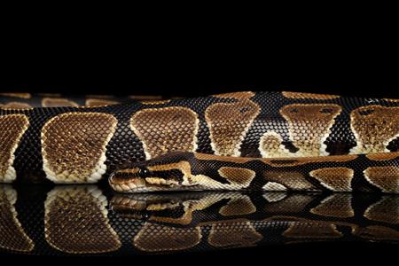 royal python: Ball or Royal python Snake. Python regius. on Isolated black background with reflection Stock Photo