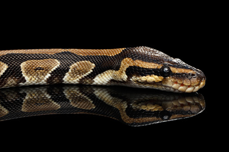 Close-up Ball or Royal python Snake on Isolated black background with reflection Stock Photo