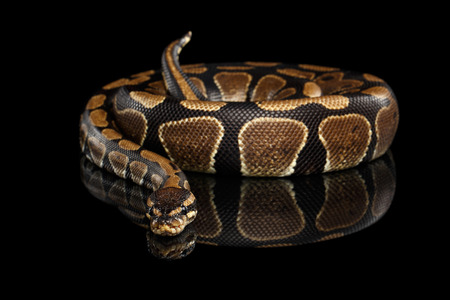 slithery: Ball or Royal python Snake on Isolated black background with reflection Stock Photo