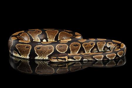 ボールやロイヤル python 反射の分離された黒い背景に蛇