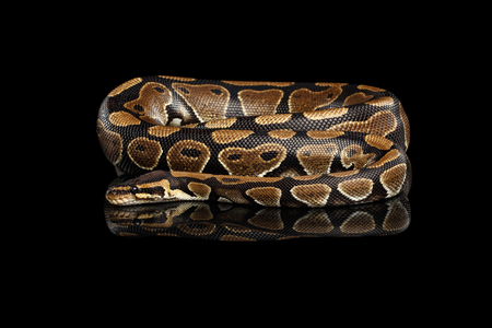 Ball or Royal python Snake on Isolated black background with reflection Stock Photo