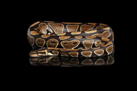 coil: Serpiente pitón bola o real sobre fondo negro aislado con la reflexión