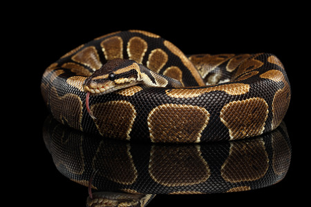 asp: Ball or Royal python Snake on Isolated black background with reflection Stock Photo