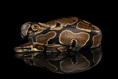 Ball or Royal python Snake on Isolated black background with reflection 스톡 콘텐츠