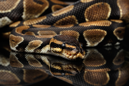 royal python: Close-up Ball or Royal python Snake on Isolated black background with reflection Stock Photo