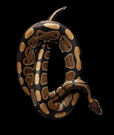 Bovenaanzicht op Ball of Royal Python Snake rollen in letter Q op Geïsoleerde zwarte achtergrond