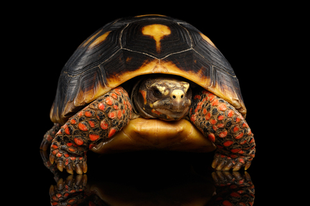 Close-up of Red-footed tortoises, Chelonoidis carbonaria, Isolated black background with reflection, front view on funny pose Stock Photo
