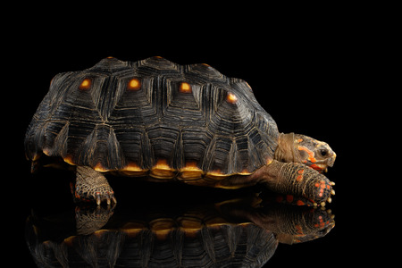 Red-footed tortoises, Chelonoidis carbonaria, Isolated black background with reflection, side view