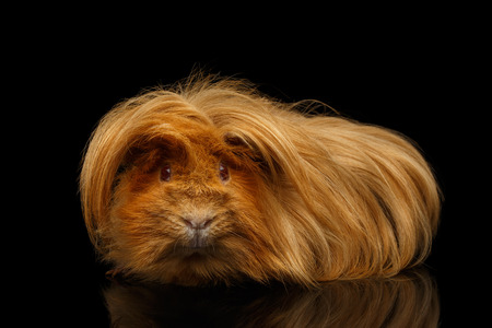 Peruvian Guinea pig with long hair and funny hairstyle on isolated black background with reflection Stock Photo