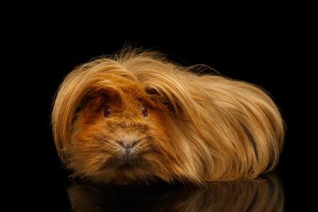 Porquinho-da-índia peruano com cabelo comprido e penteado engraçado sobre fundo preto isolado com reflexão
