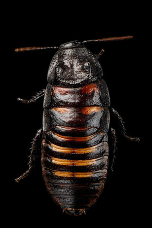 madagascar hissing cockroach: Close-up Madagascar hissing cockroach , Gromphadorhina portentosa, isolated on Black Background, top view Stock Photo