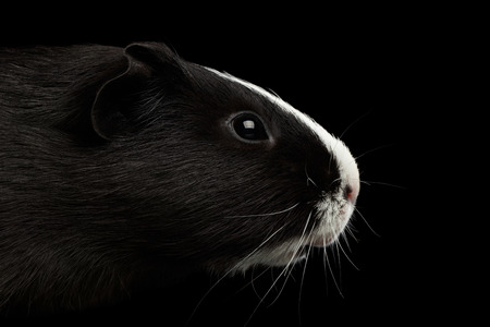 sniffle: Close-up Head Guinea pig with White nose on isolated black background with reflection