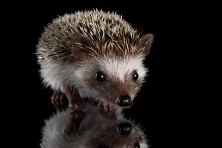 Cute Prickly Hedgehog, front view, isolated on Black Background with Reflection Stock Photo