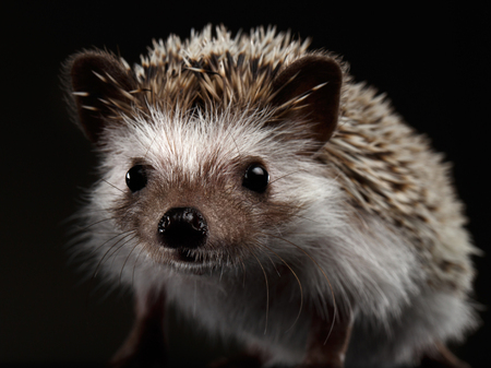 Close-up Curious Hedgehog in Front view isolated on Black Background 版權商用圖片 - 65882953