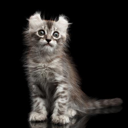 American Curl Cat Characteristics