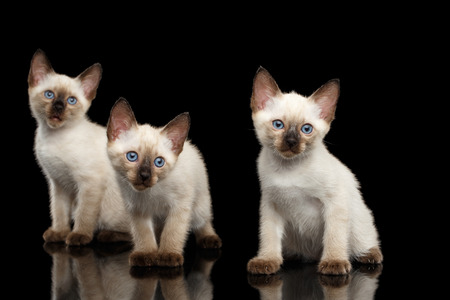 bobtail: Portrait of Three Beautiful Mekong Bobtail Kittens with Blue eyes Sitting front view, Looking Curious, Isolated Black Background, Color-point Thai Fur