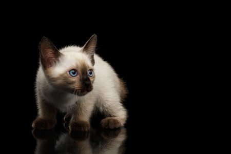bobtail: Crouched Mekong Bobtail Kitten with Blue eyes, Looking Curious, Isolated Black Background with Reflection, Color-point Thai Fur