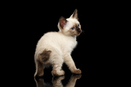 bobtail: Crouched Mekong Bobtail Kitten with Blue eyes, Back view on tail, Isolated Black Background with Reflection, Color-point Thai Fur Stock Photo
