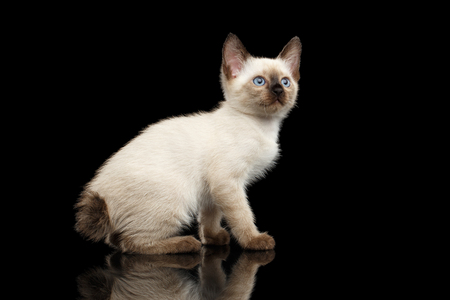 bobtail: Mekong Bobtail Kitten with Blue eyes, Sitting side view, Isolated Black Background with Reflection, Color-point Thai Fur