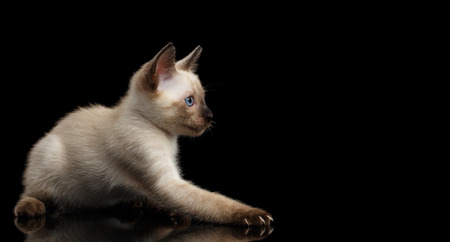 bobtail: Playful Mekong Bobtail Kitten with Blue eyes, side view, Isolated Black Background with Reflection, Color-point Thai Fur