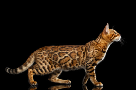 Playful Gold Bengal Cat Standing and Looking up on isolated Black Background with reflection, Side view