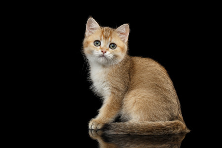 Cute British breed Kitty Gold Chinchilla color with tabby, Sitting Isolated Black Background with reflection, Side view