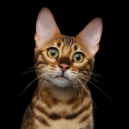 Close-up Portrait of Adorable breed Bengal kitten in front view, Curious Looking in camera with beautiful eyes isolated on Black Background Reklamní fotografie