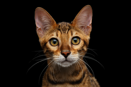 Close-up Portrait of Adorable breed Bengal kitten in front view, Looking in camera with beautiful eyes isolated on Black Background Stock Photo