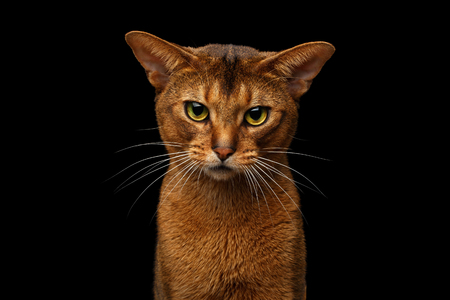 Closeup head of grumpy abyssinian cat in front portrait gazing with angry face in camera, isolated on black background