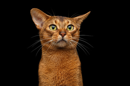 maldestro: Closeup head of clumsy abyssinian cat in front portrait with curious face, isolated on black background