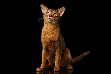 maldestro: goffa gatto abissino seduto con la faccia curiosa, isolato su sfondo nero con la riflessione