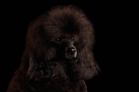 Primer corte de pelo de caniche toy